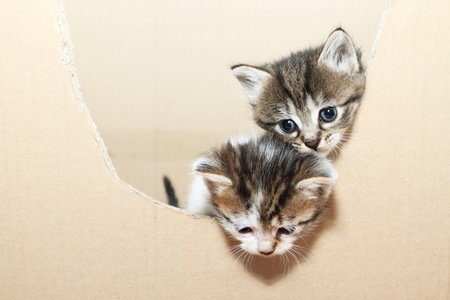 cuteness: tabby cats look out of the box