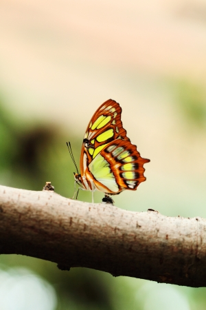 lacewing: Red lacewing butterfly  lat  Cethosia biblis  resting on branch Stock Photo