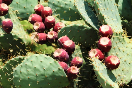 opuntia: prickly pear  opuntia  cactus with fruit