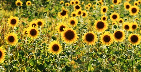 A beautiful sunflower field with lots of sunflowers Stock Photo - 14123262