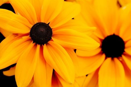 hirta: black eyed susan Rudbeckia hirta flowers background Stock Photo