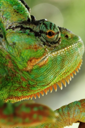 Chameleon on the leaf  Chamaeleo calyptratus  photo