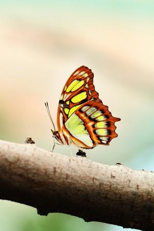 chrysope: Rouge chrysope papillon lat Cethosia Biblis reposant sur la branche