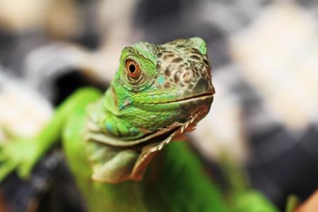 squamata: Green iguana  Iguana iguana  isolated on dark background