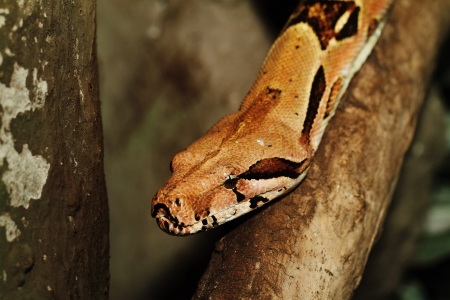 boa snake head close up photo
