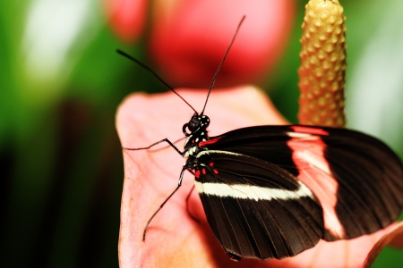 nectaring: Small Butterfly  Heliconius erato  Nectaring On Pink Flowers Stock Photo