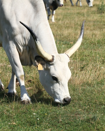 ruminant Hungarian gray cattle bull on grass photo