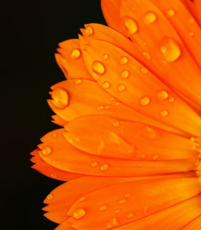Pot marigold detail macro  Calendula officinalis  photo