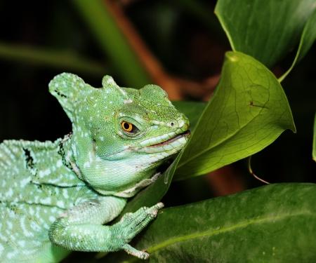 vittatus: Close up of Green Basilisk Lizard  Basiliscus plumifrons  Stock Photo