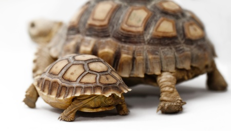 sulcata: Two African Spurred Tortoise  Geochelone sulcata  isolated on white background Stock Photo