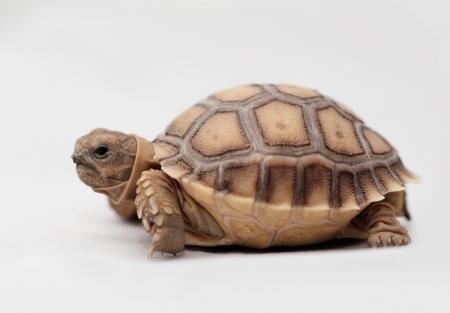Afrikaanse impuls schildpad Geochelone sulcata geïsoleerd op witte achtergrond Stockfoto