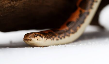 Kenyan Sand Boa  Eryx colubrinus Stock Photo - 17071012