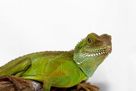 primitivism: Head and face of an adult agama  Physignathus cocincinu