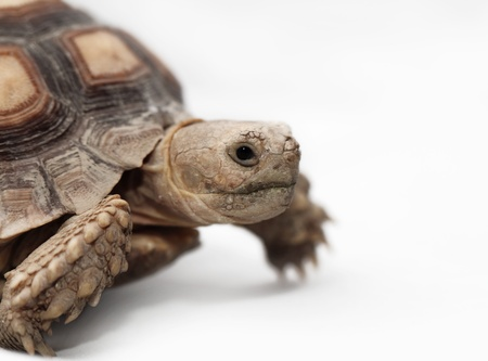 spurred: African Spurred Tortoise  Geochelone sulcata  isolated on white background Stock Photo