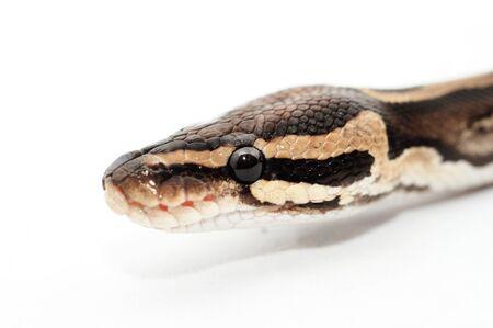 ball python: Ball Python close up  Python Regius