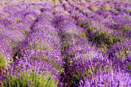 color lavender field  Natural and herbal landscape photo