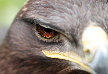 The Steppe Eagle is a bird of prey photo