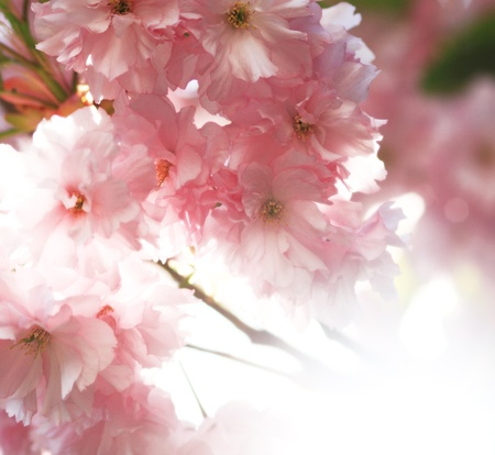 pink cherry blossom in full bloom photo