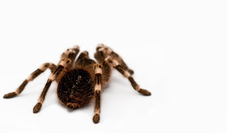beautiful spider isolated on white background  geniculata  photo