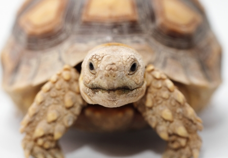 sulcata: African Spurred Tortoise  Geochelone sulcata  isolated on white background Stock Photo