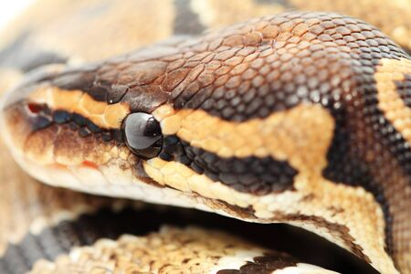 Ball Python close up  Python Regius Stock Photo - 17511785