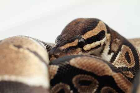 Ball Python close up  Python Regius Stock Photo - 17511769