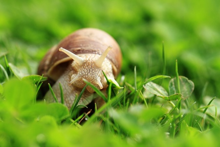 Crawler snail  Creeper snail after rain on the grass  Helix pomatia  Stock Photo - 17511796