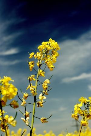 菜の花のカラフルなフィールド 写真素材