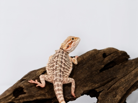 Red bearded dragon on white background  photo