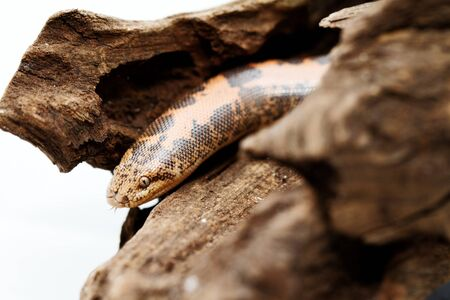Kenyan Sand Boa  Eryx colubrinus   Stock Photo - 18181082