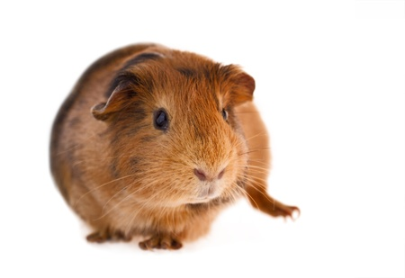 This is a picture of a brown and red guinea pig taken with a white background  photo