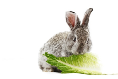 Gray rabbit bunny isolated on white background photo