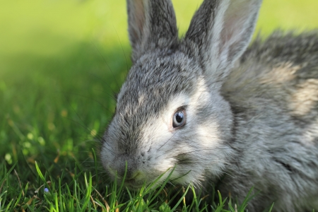 Gray rabbit in grass close up photo