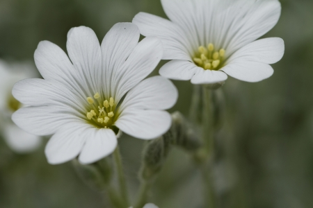 cerastium tomentosum: White rock flower garden edging