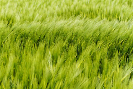 Green wheat on a grain field in spring Stock Photo - 21185631