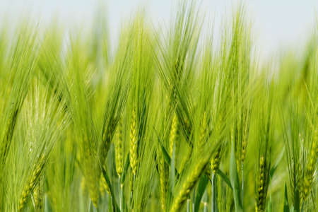 Green wheat on a grain field in spring photo