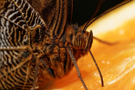marking up: Detailed macro of tropical butterfly (Caligo)