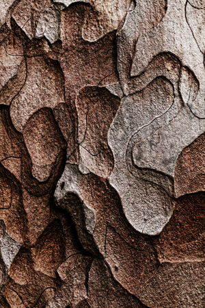 Wooden texture. Crimean pine tree, close-up view. photo