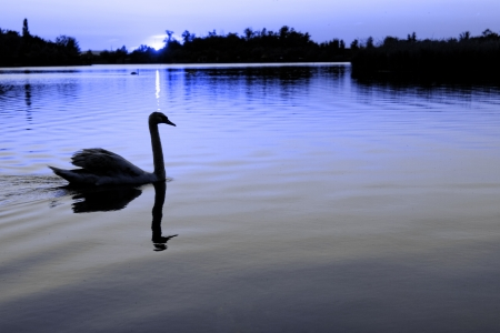 Swan in the beautiful sunset over the lake photo