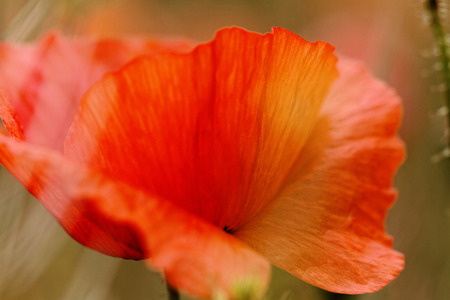 Red poppies blooming in the wild meadow - macro photo