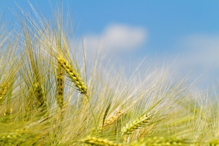 Green and yellow wheat on a grain field in spring photo