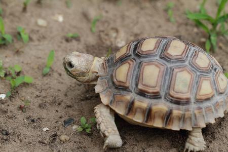 sulcata: African Spurred Tortoise  Geochelone sulcata  - macro