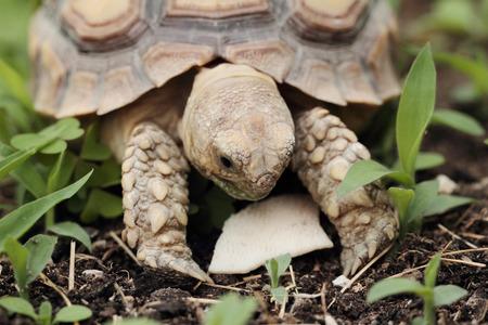 spurred: African Spurred Tortoise  Geochelone sulcata  - macro