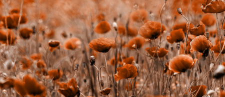 Red poppies blooming in the wild meadow - sepia tone photo