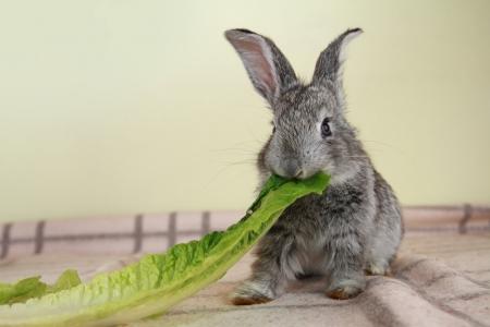 Cute gray rabbit eating the green romaine lettuce photo
