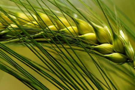 Green and yellow wheat on a grain field in spring   macro photo  photo