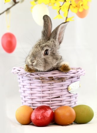 bunny rabbit: Fluffy gray rabbit in basket with Easter eggs isolated on white Stock Photo