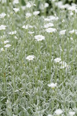 cerastium tomentosum: White rock flower garden edging