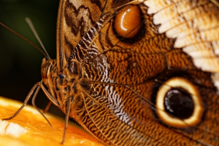 marking up: Detailed macro of tropical butterfly wing (Caligo)