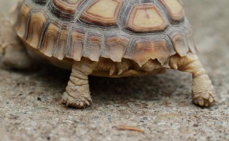 spurred: African Spurred Tortoise (Geochelone sulcata) - macro
